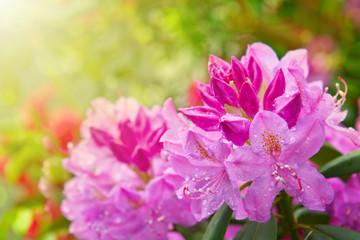 Foto auf Leinwand Azalee Beautiful pink Rhododendron.