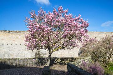 Cherry tree in springtime, pink flowers