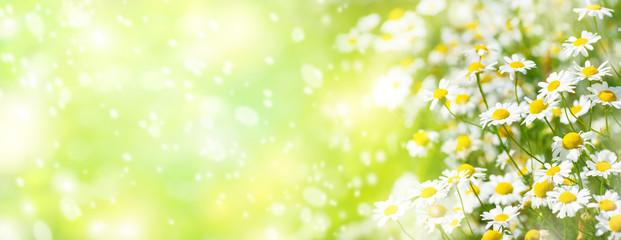 Photo sur Plexiglas Marguerites Summer background with beautiful daisies in sunlight..Blooming medical daisies.