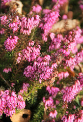 close photo of beautiful purple blooms of heather
