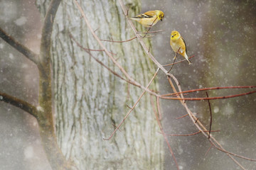 Close-up of yellow birds perching on branch during winter