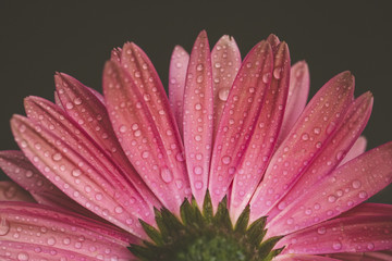 Close-up of wet gerbera daisy against black background
