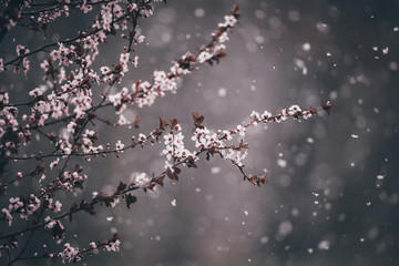 Close-up of cherry blossom flowers during winter