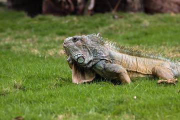 Green Iguana in the grass, Parque Seminario o Parque de las Iguanas, Guayaquil, Ecuador