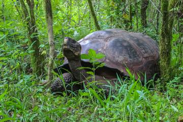 Galapagos giant tortoise in natural forest habitat, Santa Cruz, Galapagos