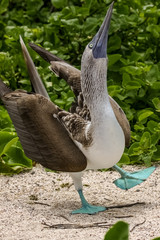 Funny Blue-footed booby walking, North Seymour, Galapagos, Ecuador