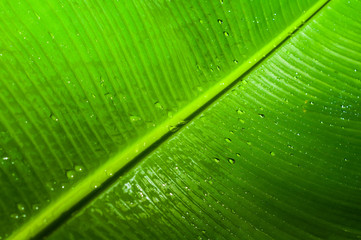Close up to green banana leaf texture with water drop