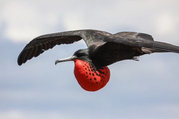 Close up of a male Magnificent frigatebird in flight with red inflated pouch, Galapagos, Ecuador
