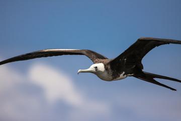 Close up of Magnificent frigatebird in flight against blue sky, Galapagos, Ecuador
