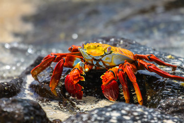 Sally Lightfoot Crab on a lava rocks in water, Galapagos