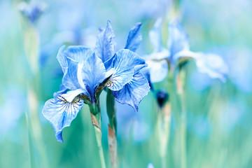 Wall Mural - Spring Iris Flowers