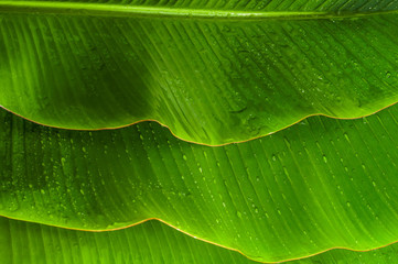 Few Banana leaves with water drops for your summer background