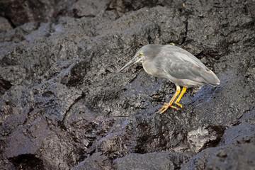 Lava heron on lava rocks on search of food, Isabela Island, Galapagos