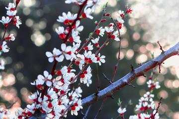 Almond Flowers At Springtime