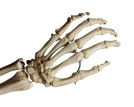 Study model of a skeleton of a human hand, white background