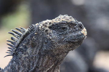 Profile of a Marine Iguana, Santa Cruz Island, Galapagos