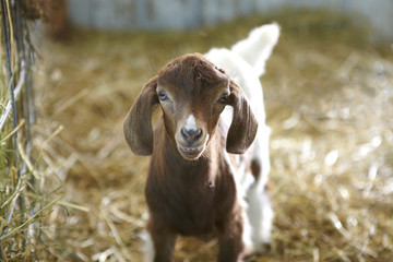 Baby goat in a barn.
