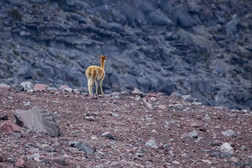 Vicuna in desert landscape, Chimborazo Nature Reserve, Ecuador