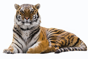 Foto auf AluDibond Tiger Amur tiger on a white isolated background