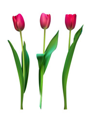 Realistic Vector Illustration Colorful Tulips . Not Trace. Pink