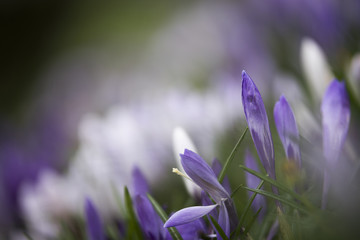 Crocus flowers in wet spring grass with shallow depth of field