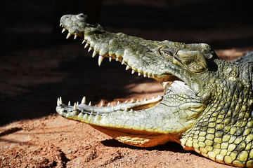 Profile of a crocodile taking a sunbath
