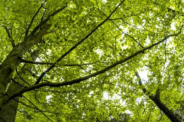 Buchenwald im Frühjahr, Österreich, Niederösterreich, Waldvie