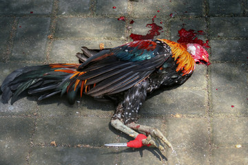 Dead chicken after fight