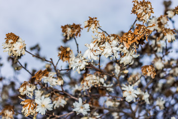 White magnolia flowers with shriveled brown dried leaves in early spring
