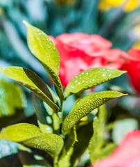 Macro closeup of wet yellow green rose leaves