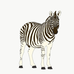 Portrait of a  Zebra, hand drawn vector illustration isolated on white background