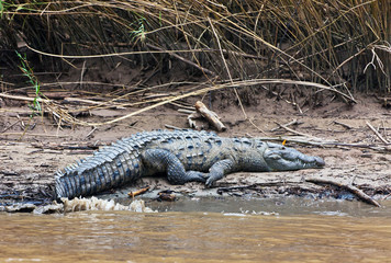 Crocodile near of the Rio Grijalva (Sumidero Canyon), Mexico