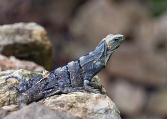 Iguana on Rock of Uxmal - Yucatan, Mexico