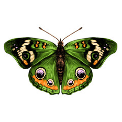 butterfly with open wings top view of symmetry, sketch the graph of vector color drawing butterfly with green wings