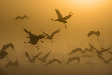 Cranes flying at sunrise Rosh Pina, Israel