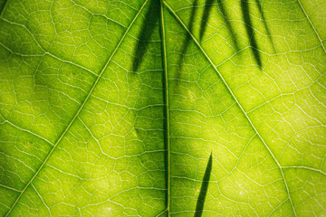 Texture of leaf with shadows