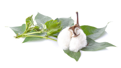 Cotton flowers on a white background