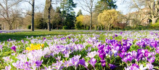 Frühlingserwachen, Ostergruß, Blütenzauber, Alles Liebe, Glück, Freude: Wiese mit zarten Krokussen :)