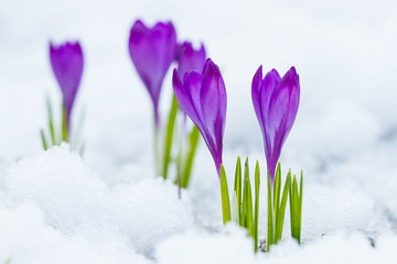 Violet flowers crocuses