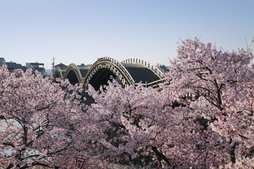 Kintai Bridge and cherry blossoms