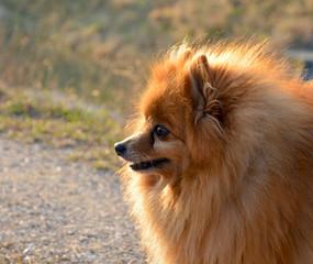 Volpino in passeggiata. Cane di razza volpino all'aperto.