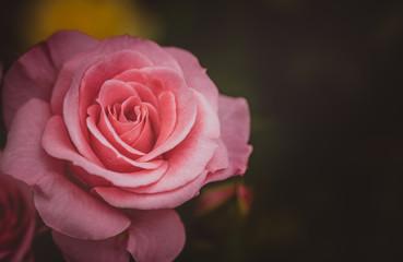Rose flower on black background