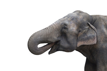 Cute grey Elephant portrait with open mouth on white background.