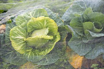 Cabbage under net farm closeup