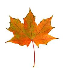 Autumn orange maple leaf close-up on a white background.
