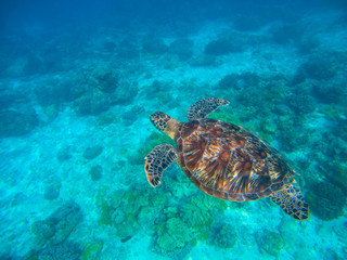 Olive ridley turtle in blue sea water. Green tortoise in tropical lagoon.