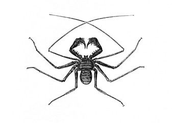 Tailless whip scorpion (Phrynus reniformis) (from Meyers Lexikon, 1895, 7/664)