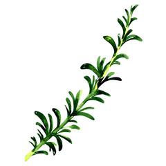 Fresh green twig of rosemary isolated, watercolor illustration on white