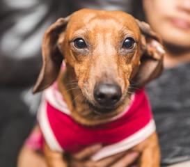 Cute Dachsund Wearing Dog Clothes