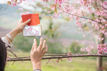 Close up of senior woman taking photo of sakura flowers or cherry blossom with old smart phone. Lifestyle of elderly people concept. Focus on hand holding cellphone capture pink flowers. Copy space.